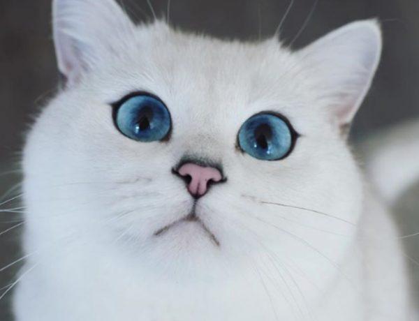 【貓藍眼睛超美】6 個藍眼貓品種介紹
