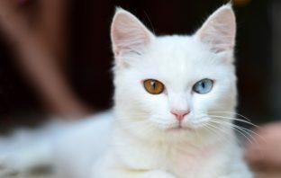 白貓品種封面
